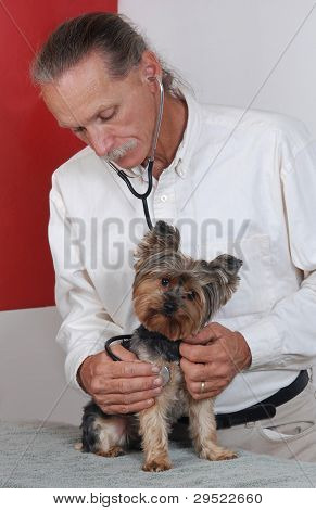 Veterinarian Holding Dog, Yorkshire Terrier