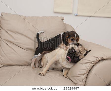Pug and Beagle Playing