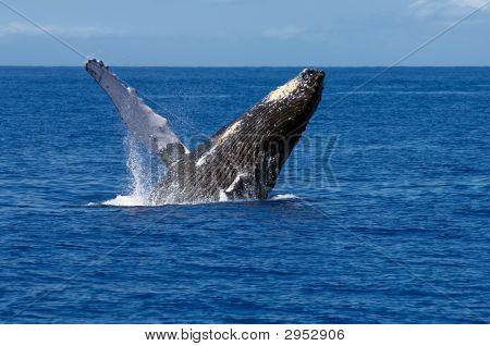 Incumplimiento de ballena jorobada