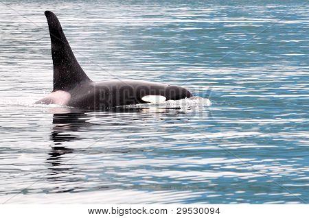 Orca or killer whale near Vancouver Island, Canada