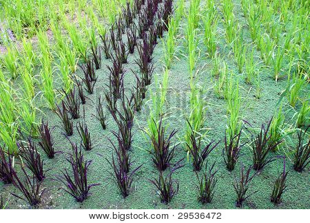 Cultivation Of Baby Sticky Rice In Water