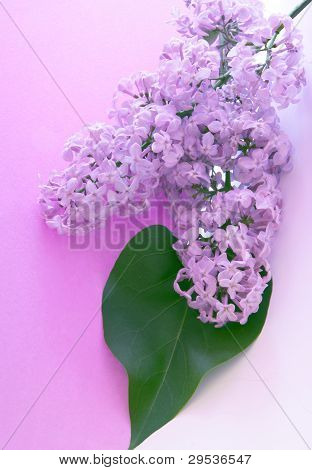 bunch of lilac lila flowers