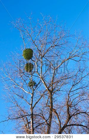 Mistletoe Plant On A Birch Tree