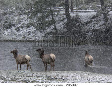 Elk In Snowstorm