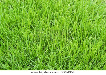 Poa Annua Grass
