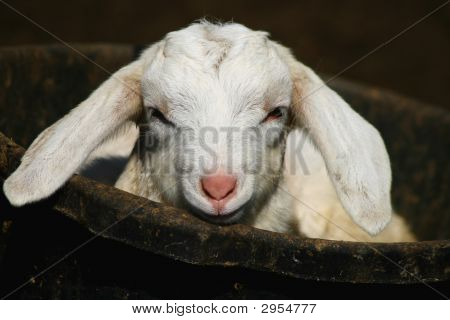 Kid Goat In A Bucket