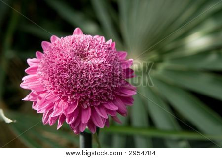 Dark Pink Chrysanthemum