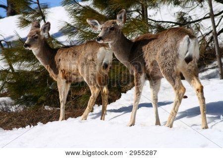 Mule Deer 1