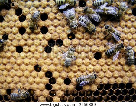 Young Bees.