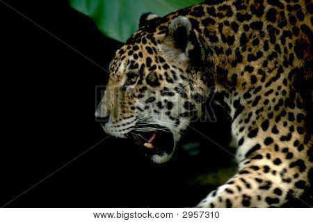 Retrato de snarling leopardo con blacky