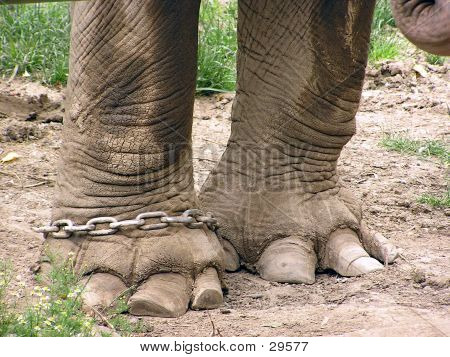 Legs From An Elephant In Chain