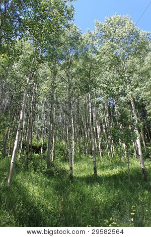 Aspen Grove Summer Verticle