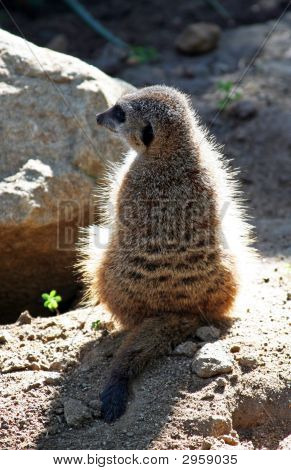 Meerkat Sunning