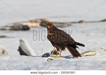 Eurasian Marsh harrier (Circus aeruginosus) sobre a neve
