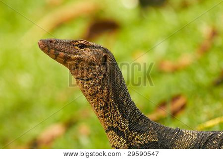 Closeup of monitor lizard - Varanus portrait in green grass (Varanidae). Shallow focus depth on head