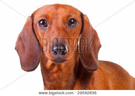 Bassê cães branco isolado