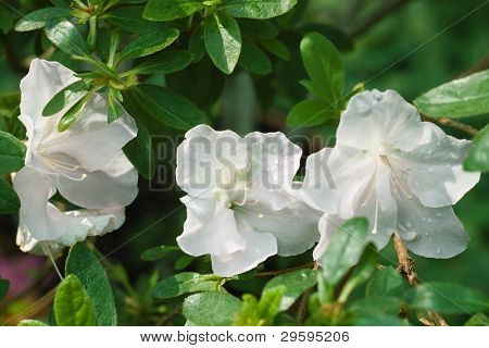 three white azalea in the background of foliage