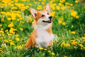 Funny Pembroke Welsh Corgi Dog Puppy Playing In Green Summer Meadow Grass With Yellow Blooming Dande poster
