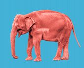 Pink Or Coral Colored Elephant Close Up. Big Walking Elephant Isolated On Blue Background. Standing  poster