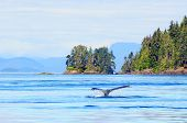 stock photo of whale-tail  - Humpback whale near Vancouver Island - JPG
