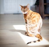 Gorgeous Bengal Cat With Bright Green Eyes Looking Intently In The Camera poster