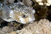 yellowspotted burrfish (cyclichthys