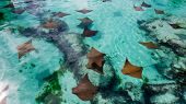 Peaceful Sting Rays In A Small Lake Of Crystal Clear Tropical Water From The Bahamas. poster