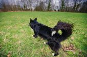 A Purebred Border Collie Dog Without Leash  Running Outdoors In The Nature On A Sunny Day. Dog Play  poster