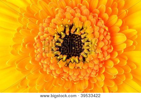 Macro Close-up Of Yellow Gerber Marigold Flower