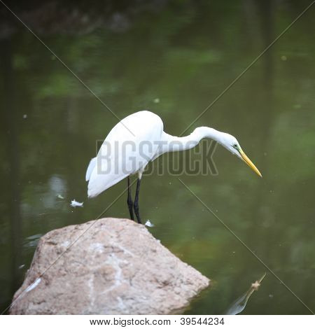 Snow white Egret ready for the fishing