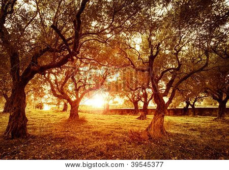 Picture of beautiful orange sunset in olive trees garden, agricultural landscape, lebanese farmland, vegetable produce industry, seasonal nature, fruit cultivation, healthy nutrition concept