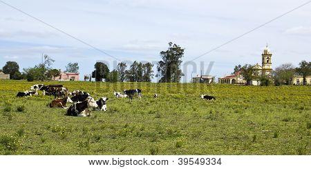 Herd Of Cows Resting In Uruguay.