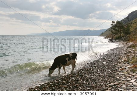 Cows On The Coast Of Baikal Lake