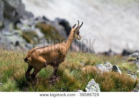 Chamois in High...