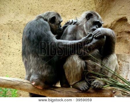 Casal de macacos no galho de árvore
