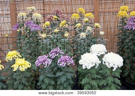 Colourful Chrysanthemum Collection