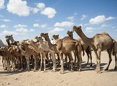 foto of dromedaries  - Dromedary camel livestock ready to be traded at a traditional african market - JPG