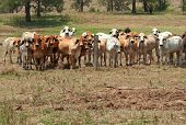 stock photo of zebu  - Australian rural landscape barbed wire fence restrains brahman cow herd on ranch with foreground copyspace - JPG