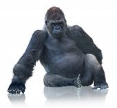 image of endangered species  - Silverback Gorilla Sitting Isolated On White Background - JPG