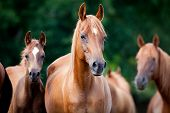 image of chestnut horse  - Herd of Arabian horses - JPG