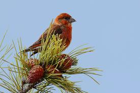 foto of crossbill  - Male Red  - JPG