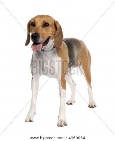 Mixed-breed Dog With A Beagle (5 Years Old)