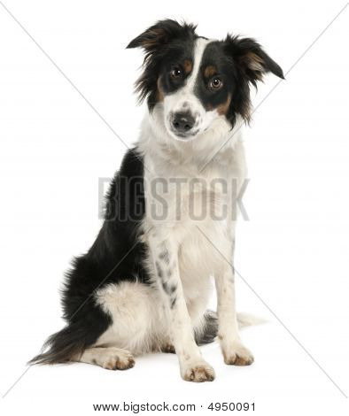 Border Collie (9 Months Old)