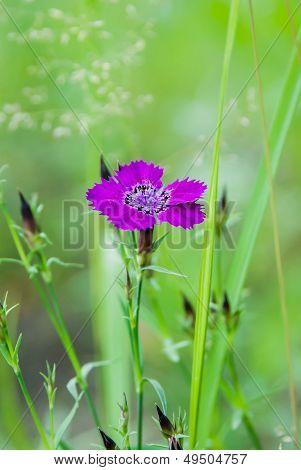 Carnation Amur (caryophyllaceae)