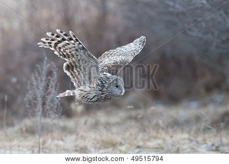 Ural Owl flying into the forest