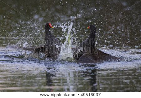 Two Common Moorhen fight on water