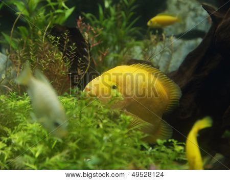 Zebrasoma Flavescens In Aquarium
