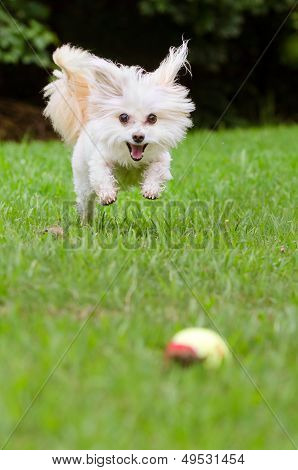 Portrait of maltipoo dog playing with ball in field