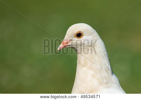 Head Shot Of White Pidgeon
