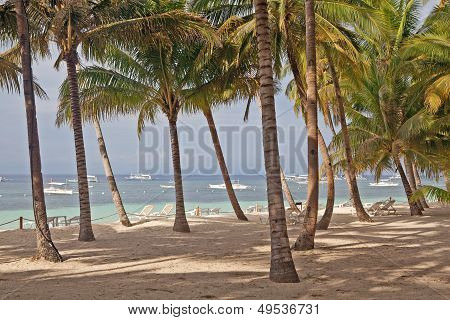 Alona Beach Coconut Trees